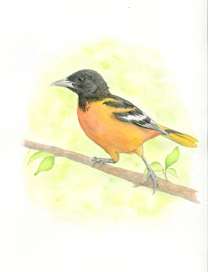 oriole for website
