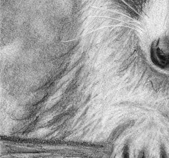 Raccoon detail 2